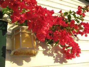 Bougainvillea over our back porch light